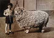 boy + sheep